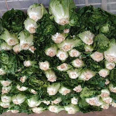 lettuce-romaine-direct-dealer